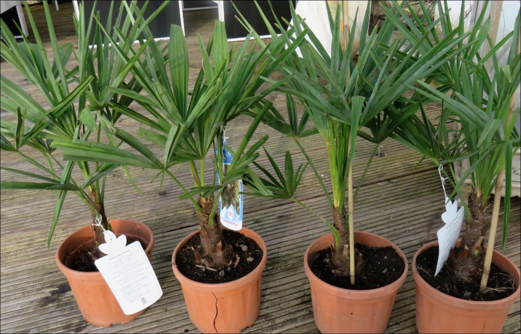 4 Trachycarpus fortunei - winterharte Hanfpalmen