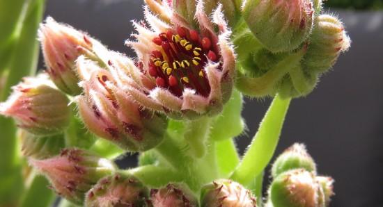 Die Blüte einer Steinbrech Pflanze