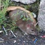Ratten im Garten vertreiben und bekämpfen